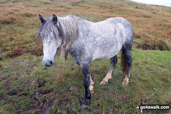 Wild pony on Hollow Moor (Green Quarter Fell)