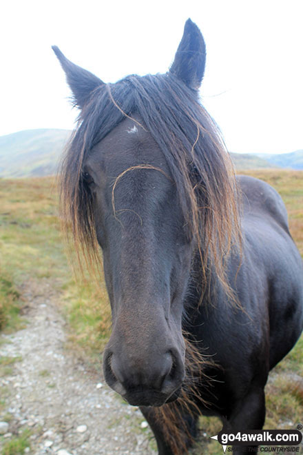 Wild pony on Hollow Moor (North East Top)
