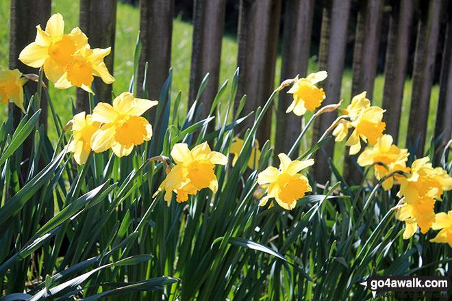 Daffodils at Matson Ground
