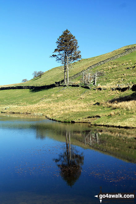 Lone tree beside the small lake on the Dales way south west of School Knott