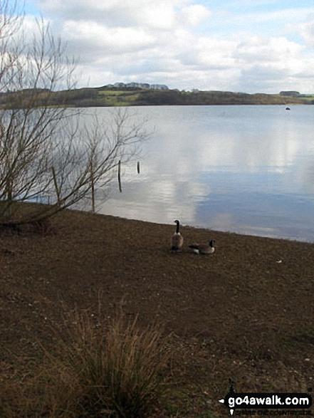 Canada Geese at Carsington Water