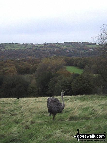 Ostrich Farm nr Tarden