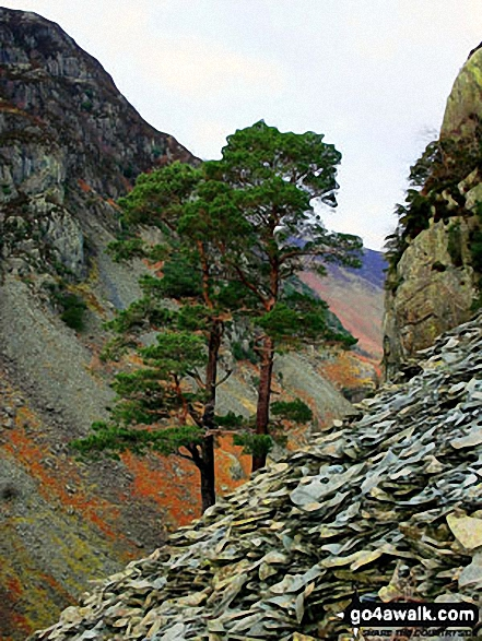 A pair of Scots Pines amongst the old quarry workings on the side of Castle Crag. Walk route map c135 Castle Crag and Rosthwaite from Seatoller, Borrowdale photo