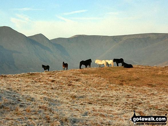 Fell Ponies on Hollow Moor