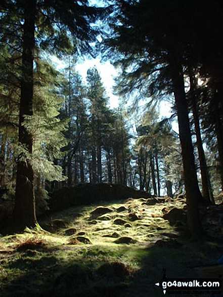 Woods above Tarn Hows. Walk route map c353 Holme Fell and Black Fell (Black Crag) from Tom Gill photo