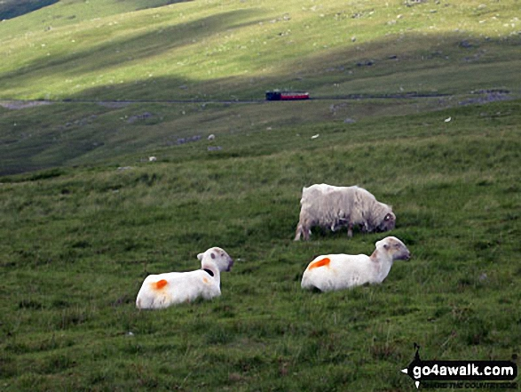 Sheep on Snowdon (Yr Wyddfa) with the Snowdon Mountain Railway beyond. Walk route map gw158 Snowdon, Moel Cynghorion, Foel Gron and Moel Eilio from Llanberis photo