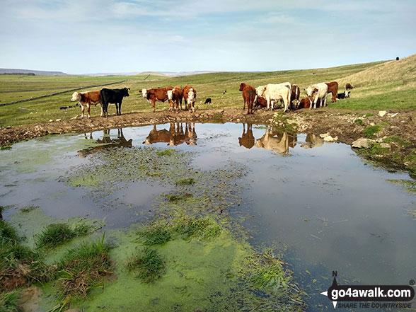 Cattle on the Limestone Way near Bradwell Moor