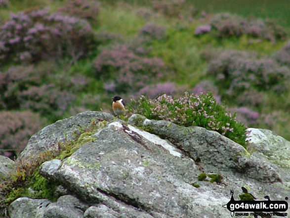 Stonechat at Llyn Idwal Nature Reserve