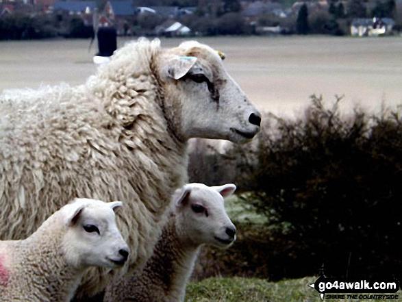 Sheep on Pitstone Hill