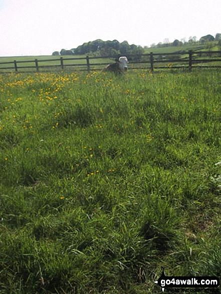 Cow in a field near Hetton