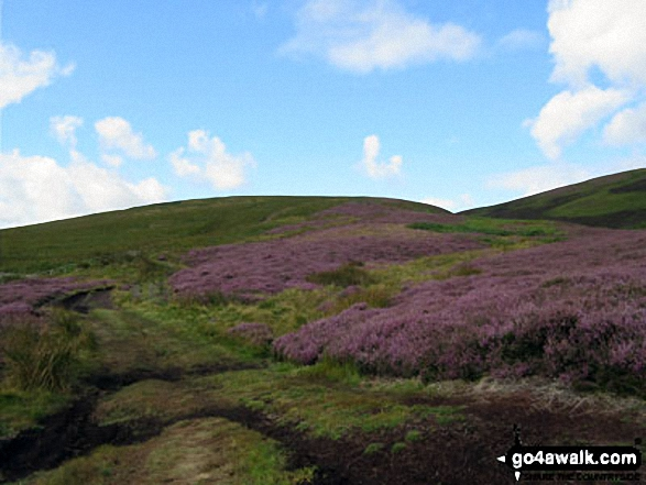 Heather on The Cheviot