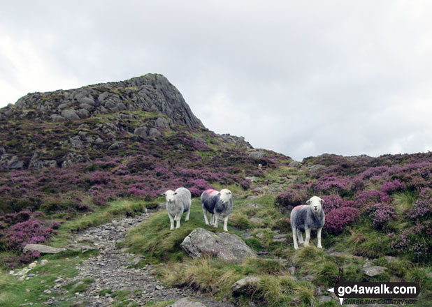 Herdies (Herdwick Sheep) in front of Green Crag (Buttermere). Walk route map c228 Hay Stacks from Buttermere photo
