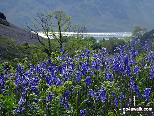 Crummock Water through a field of bluebells below Rannerdale Knotts
