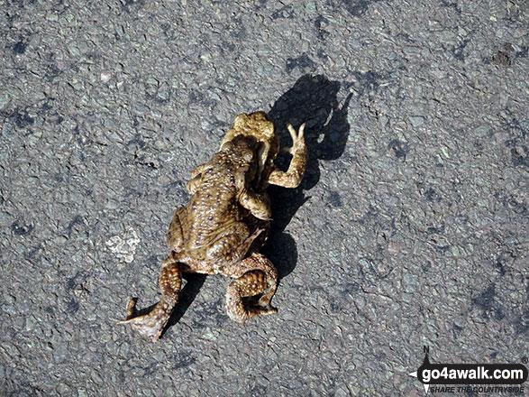 Toads crossing the road near Bowden Bridge, Hayfield