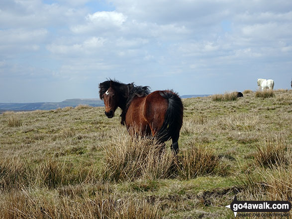 Wild Ponies on the way from Freeholds Top to Middle Hill (Whitworth)