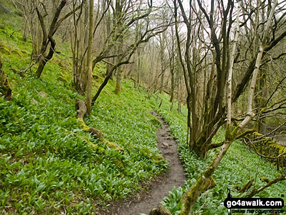 Wild Garlic in Cressbrook Dale. Walk route map d246 Miller's Dale and Water-cum-Jolly Dale from Tideswell photo