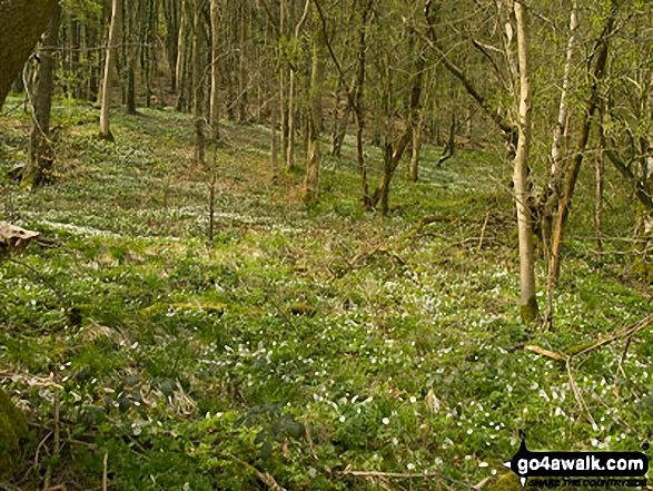 Carpet of Wood Anemone in Cressbrook Dale. Walk route map d246 Miller's Dale and Water-cum-Jolly Dale from Tideswell photo