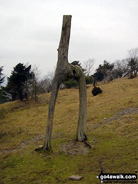 Unusual tree remains on Arnside Knott