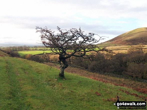 Lone Tree near Knock