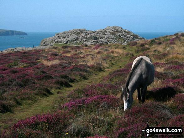 Wild ponies on St David's Head, The Pembrokeshire Coast Path