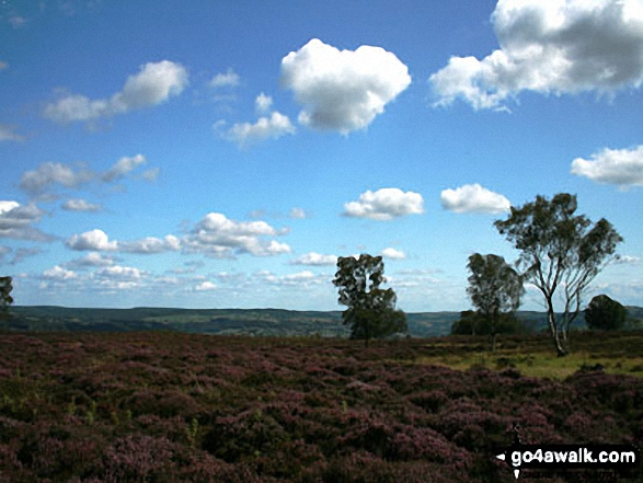 Heather in bloom on Stanton Moor