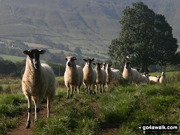Sheep in Edale on the path to Barber Booth. Walk route map d296 Jacob's Ladder and Kinder Scout from Edale photo