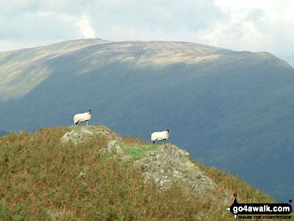 Sheep on Black Fell (Black Crag)