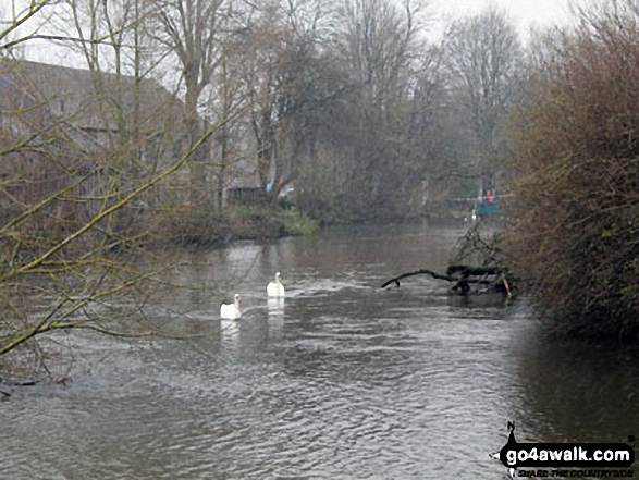 Swans on The River Wye at Bakewell. Walk route map d206 Monsal Dale and Ashford in the Water from Bakewell photo