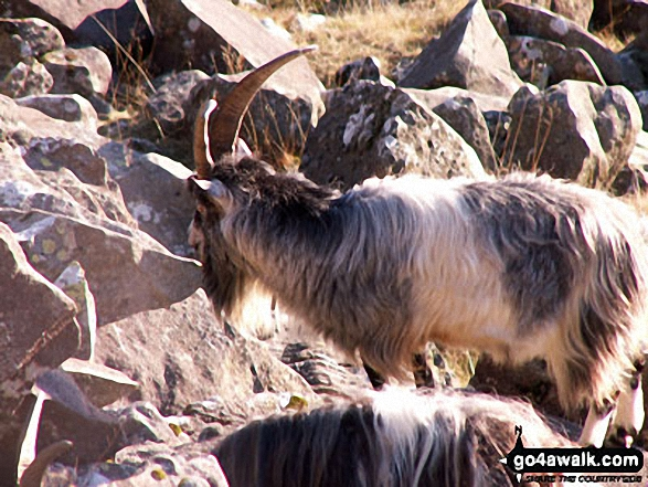 Wild goats on the PYG Track. Walk route map gw134 Mount Snowdon (Yr Wyddfa) avoiding Crib Goch from Pen y Pass photo