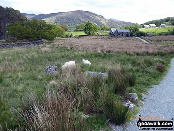 Sheep crossing the path near Beddgelert