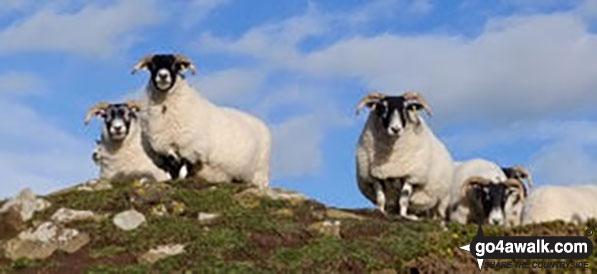 Walk n116 Dunstanburgh Castle from Craster - Sheep near Craster