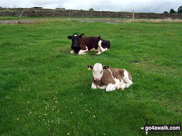 Young Calves in the fields near Longnor