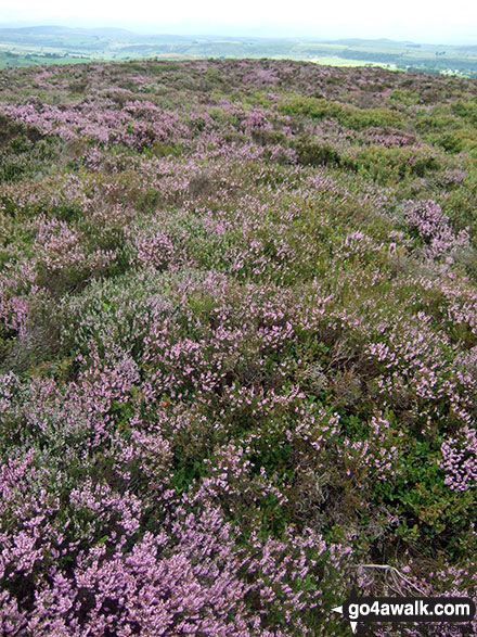 Heather in Bloom on Lady Edge