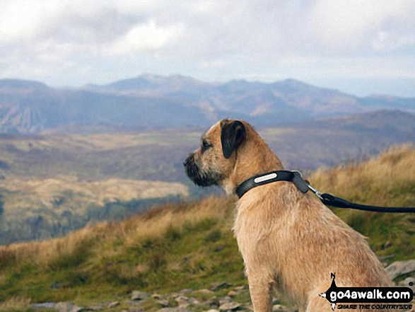 Our dog Ted enjoying the view in the way up Helvellyn
