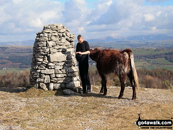 My boyfriend being accosted by a cow on Lord's Seat (Whitbarrow Scar) summit