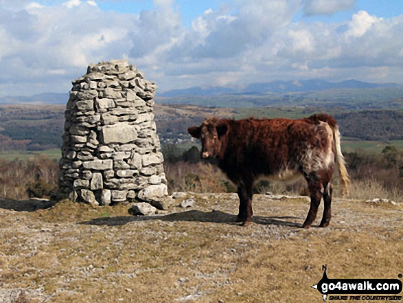 Cow on Lord's Seat (Whitbarrow Scar) summit