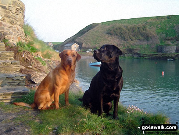 My walking companions (Morgan � the black labrador and Tali � the fox red labrador) at Abercastle