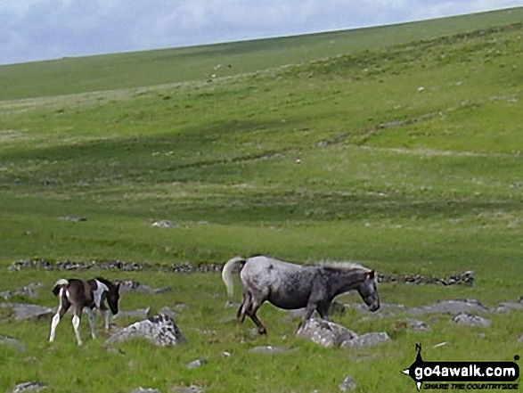 Ponies on Bodmin Moor. Walk route map co168 Brown Willy and Bodmin Moor from St Breward photo