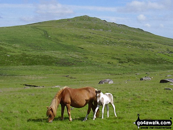 More ponies on Bodmin Moor. Walk route map co168 Brown Willy and Bodmin Moor from St Breward photo