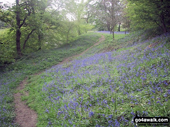 Bluebells covering the ground in woodland beside the River Noe in the Vale of Edale