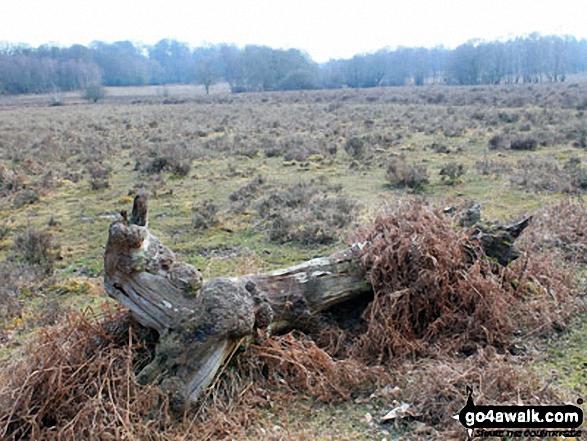 Walk ha109 Lyndhurst Hill and Swan Green from Lyndhurst - Discarded log on White Moor