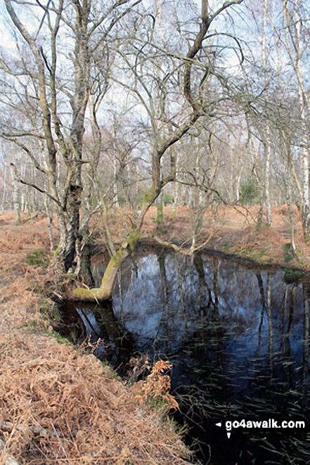 Walk ha109 Lyndhurst Hill and Swan Green from Lyndhurst - Small Pool on White Moor