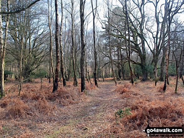 Walk ha109 Lyndhurst Hill and Swan Green from Lyndhurst - Woodland on White Moor