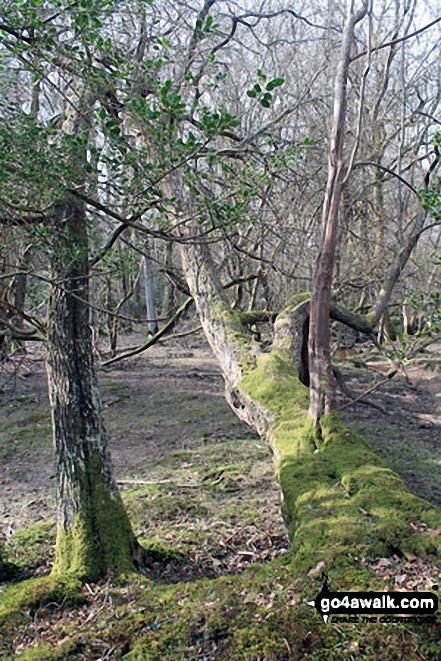 Walk ha109 Lyndhurst Hill and Swan Green from Lyndhurst - In woodland on White Moor