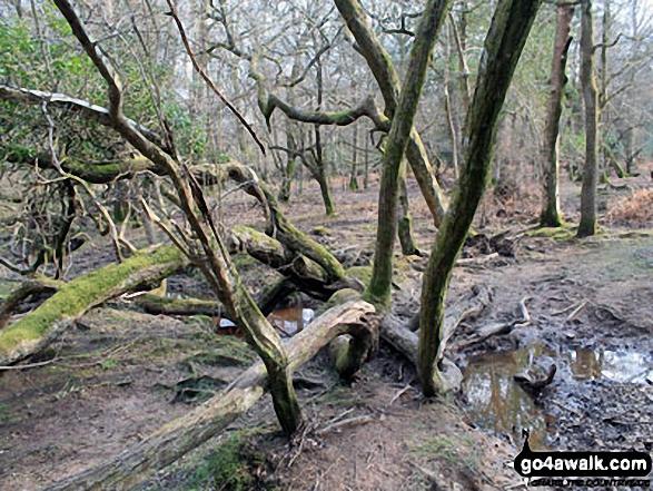 Walk ha109 Lyndhurst Hill and Swan Green from Lyndhurst - Ancient woodland by Highland Water