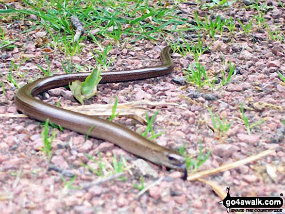 Grass Snake (or is it a Slow Worm?) in Thrunton Wood