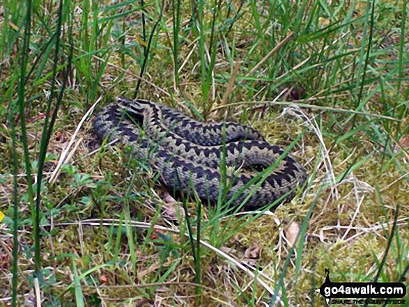 Adder (Snake) in Thrunton Wood
