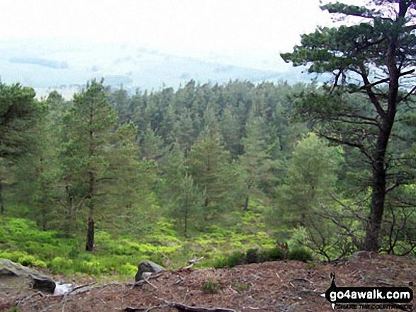 Thrunton Wood