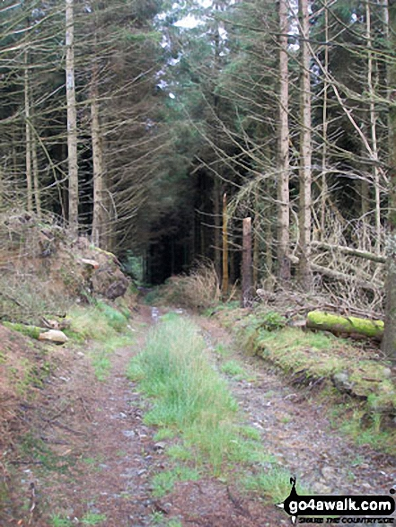 Path up through the forest from Llyn Celyn