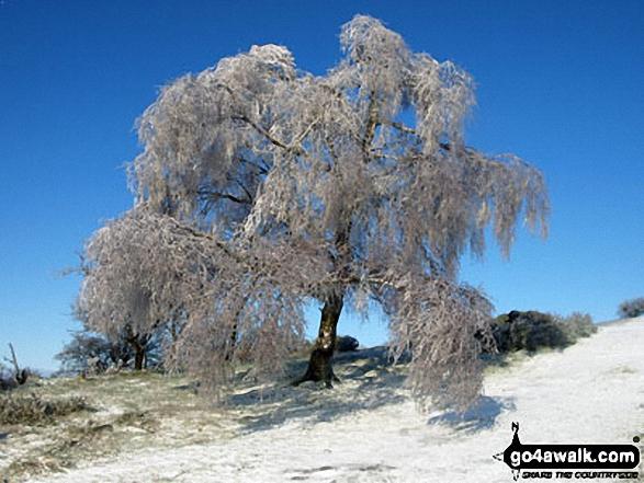 Frozen tree en-route to Worcestershire Beacon